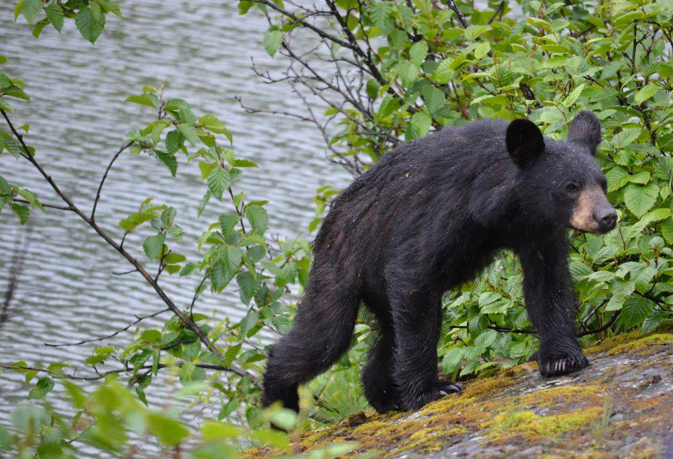 Will I see bears in Juneau, Alaska during a tour?