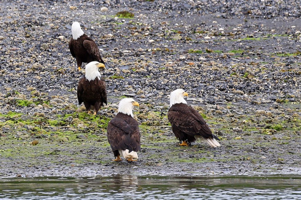 A group of bald eagles scouring the land for lunch.