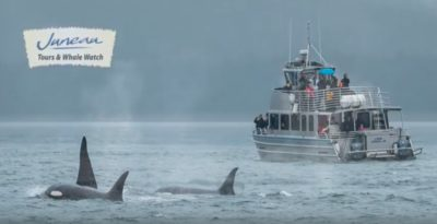 Whale Breaching ExplainedMay Be Juneau Tours And Excursions - Whale cruise ship