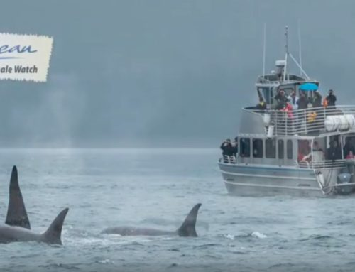 Latest Juneau Tours movie: Whales of 2017